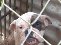 English American Bulldog for trade with Rottweiler