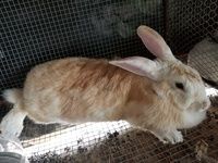 Adult breeder rabbits