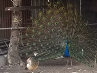 Adult peacock and peahens