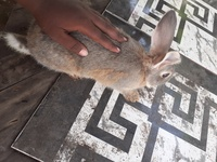 Adult Rabbit male and female