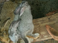 Rabbits for Pets and Meat