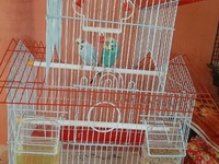 Pair of English Budgies with china top cage