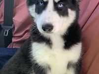 Female Pure Bred Siberian Husky all shots given