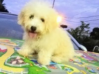 Female toy poodle maltipoo