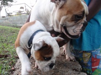 Purebred English Bulldog Puppy. Male. Four months old.