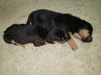 Bull mastiff/pitbull rot mix puppies