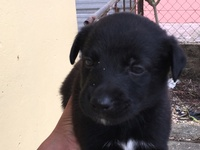 German Sheperd and Akita mix