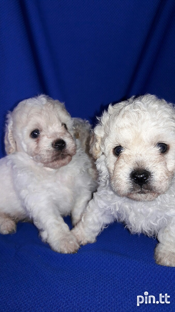 TOY POODLES-2