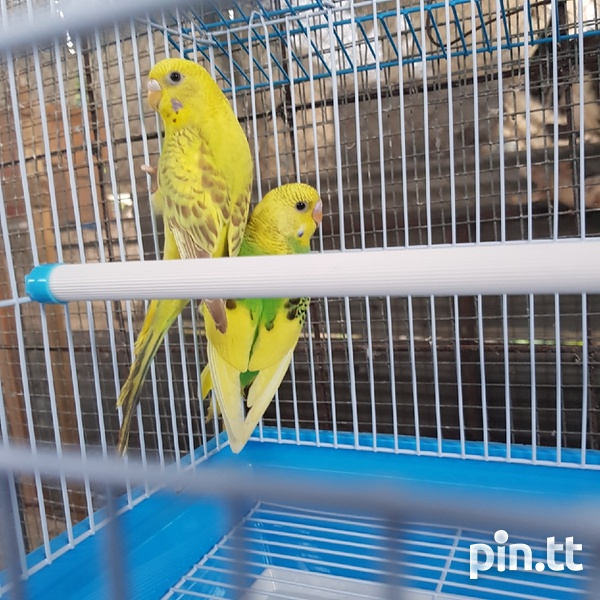 Budgies and cage-5
