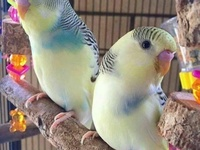 Colourful Budgies PAIRED Ready to breed.. read description