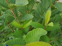 Healthy large local guava plants