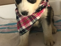 Pure Bred High Quality Husky Puppies