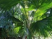 Young Fan Palms