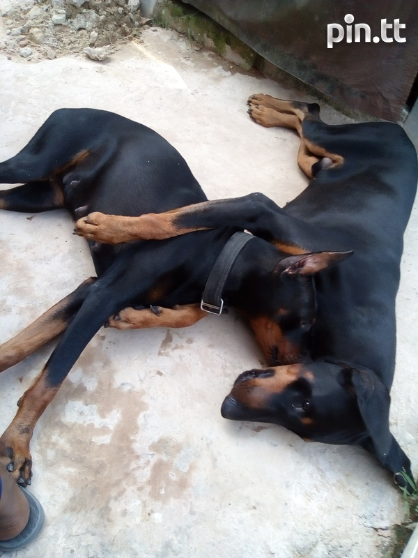 Doberman dogs male and female-1