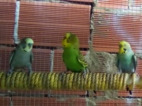 Healthy and Colorful Budgies