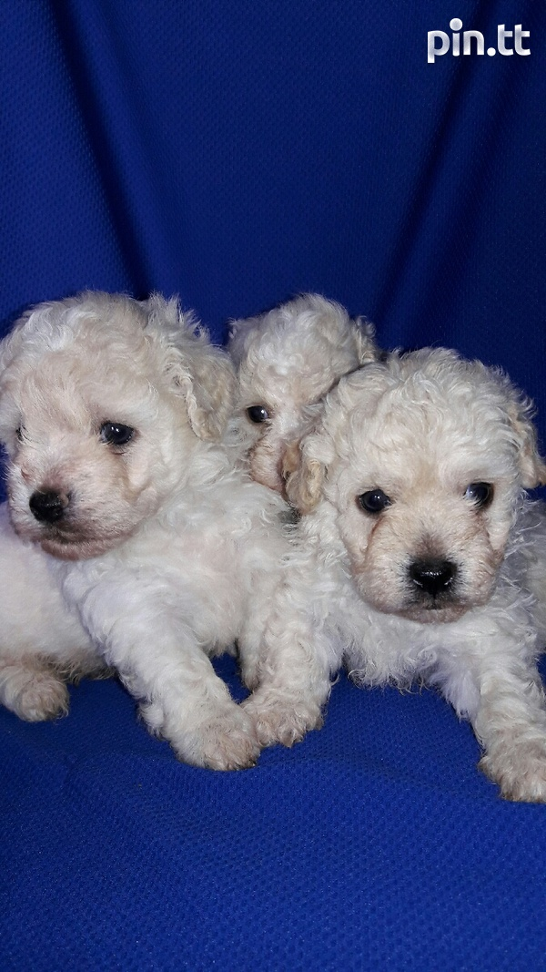 TOY POODLES-1