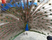 Adult peacock
