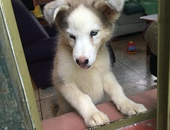 Female Husky puppy almost 3 months old