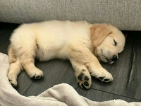 Golden retriever mixed with German shepard only males