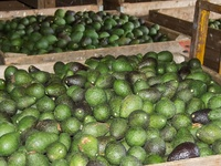 Avocado wholesale