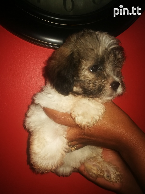 Toy Poodle and Pompek Mixed Pup-3
