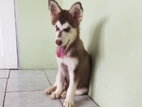 Red Male Husky Puppy