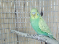 Budgie, Young male