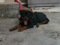 6 Month Old Male Rottweiler
