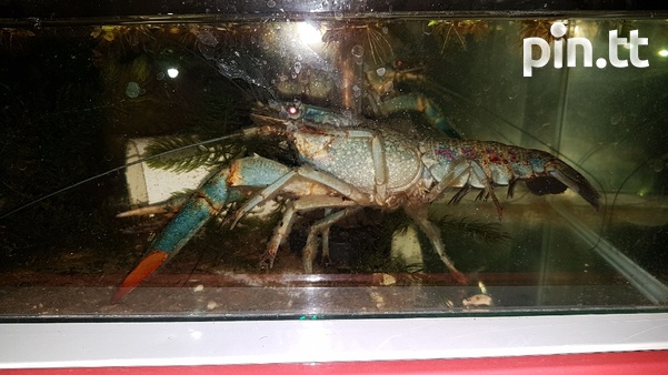 Australian Red Claw Crayfish-5