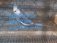 Mature male Whiteface
