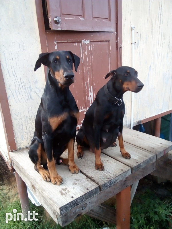 Doberman dogs male and female-2
