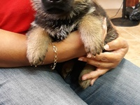 TTKC Registered German Shepherd puppies from Working and Show lines