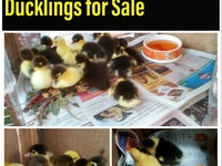 Local Muscovy Ducklings