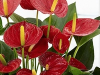Beautiful Red Hibred Anthurium Flowers