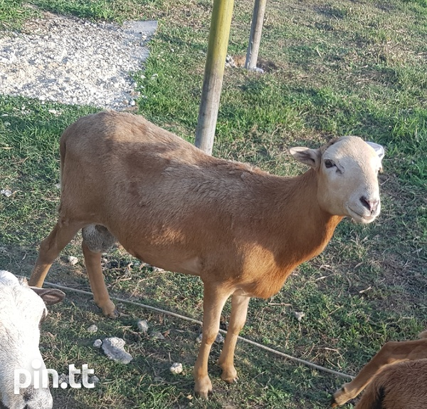 West African male sheep-2
