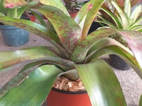 Big Rose Bromeliad