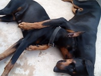 Doberman dogs male and female