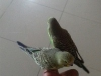 Hand Tamed Budgies