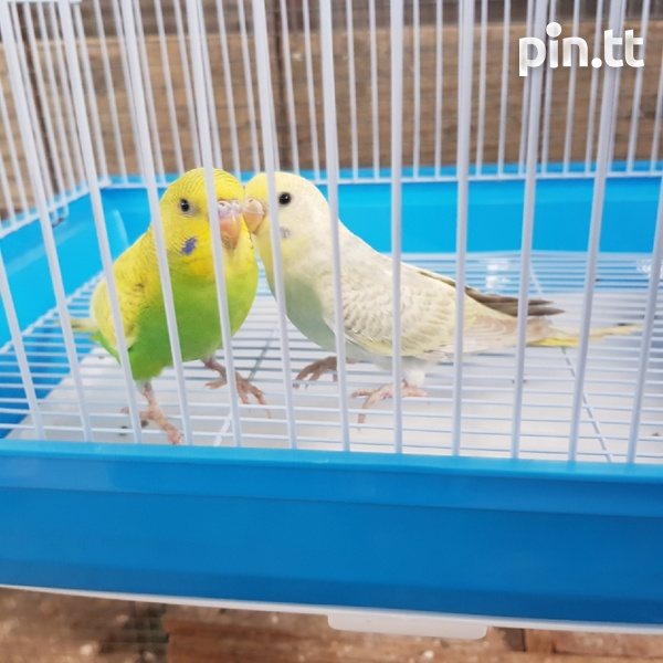 Budgies and cage-3