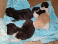 Kittens, 2 females left