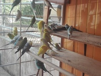 Colourful mature budgies ready to breed
