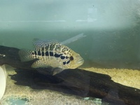 big tanks an big exotic predators