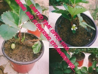 Bearing Strawberries