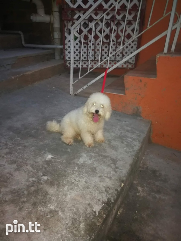 Toy Poodle and Pompek Mixed Pup-1