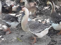 West African geese