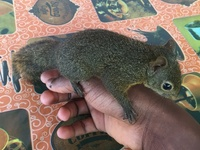 Tame 3 month old squirrel