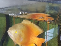 ruby red oscar fish