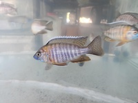 African cichlids peacocks