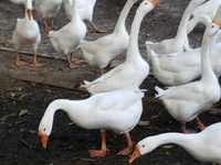 Imported Chinese Geese