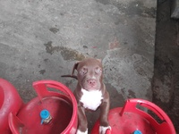 Pure breed pitbulls top lineage